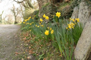 Daffodils at Snail Trail B&B