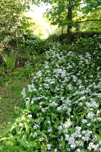 Ransoms wild garlic